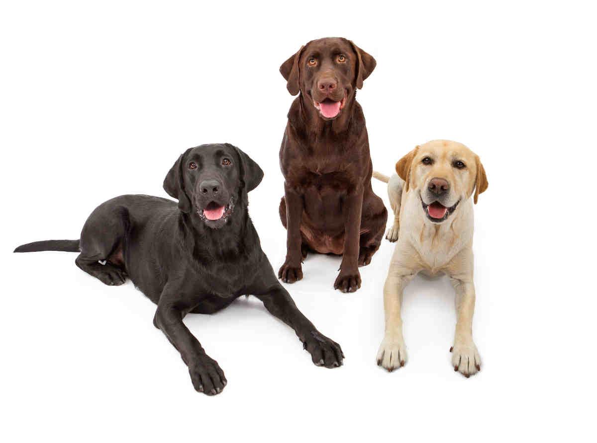 Labrador Retriever Alle Infos Zu Labrador Retriever Infos